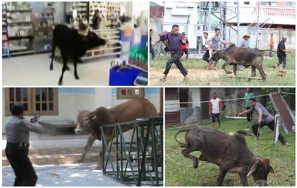 cerita-unik-idul-adha-aksi-perlawanan-heroik-sapi-kurban