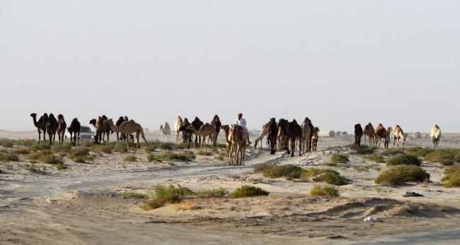 Bahkan Domba dan Unta Qatar pun Diusir dari Padang Rumput Saudi