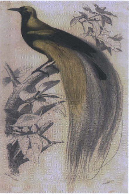 Paradisaea Apoda, tangkapan pertama Ali di Aru tahun 1857. Photo: d'Orbigny 1849