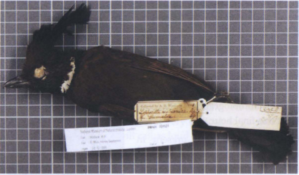 Piatylophus galericulatus coronatus, burung yang kemungkinan besar diawetkan oleh Ali di Sumatra pada November 1861. Sekarang berada di Netherlands Centre for Biodiversity Naturalis, Leiden. Photo: John Van Wyhe dan Gerrell M. Drawhorn