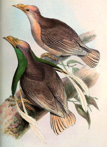 Semioptera Wallacei hasil tangkapan Ali di Pulau Bacan. Photo: John Jennens, 1860