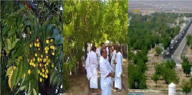 Mengenal Pohon Soekarno, Pengobat Gersang Tanah Mekah
